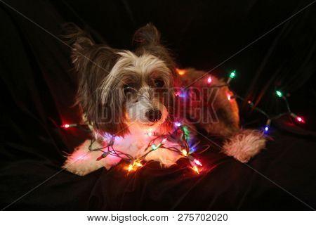 Christmas Dog. Christmas Dog. Chinese Crested dog. Chinese Crested Dog with Christmas lights. Isolated on black velvet. room for text overlay.