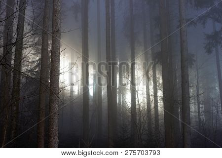 Mist In A Coniferous Forest. The Sun Shines Through The Mist. Magical Ambiance.