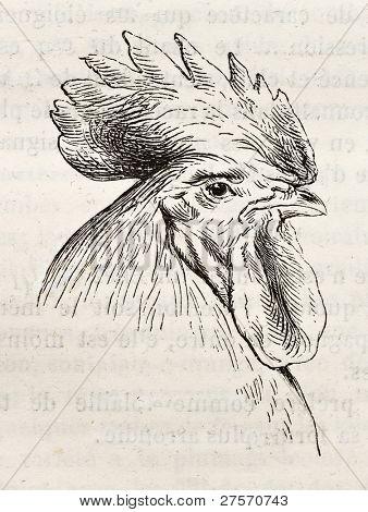 Dorking chicken head old illustration. Created by Jacque and Lavieille, published on Merveilles de la Nature, Bailliere et fils, Paris, ca. 1878