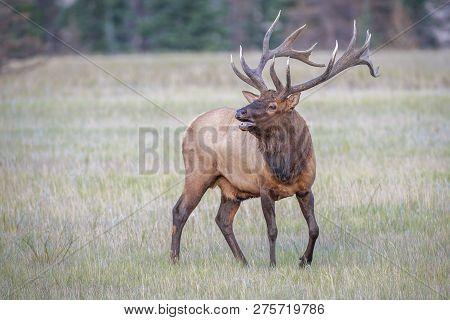 Male Elk Or Wapiti (cervus Canadensis) Is Calling In Jasper National Park. Alberta. Canada
