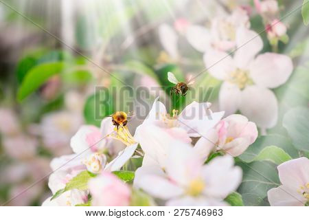 Blossom Blooming On Trees In Springtime. Apple Tree Flowers Blooming. Blossoming Apple Tree Flowers
