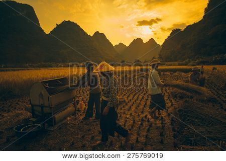 Cao Bang, Vietnam 10-2018: Harvest Season. Group Of Farmers Harvesting Ripe Rice By Hand, Sickle, Ma
