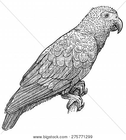 African Grey Parrot Illustration, Drawing, Engraving, Ink, Line Art, Vector