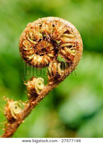 Unfolding Fern Frond