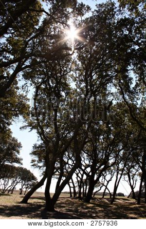 Sunburst Through Oaks