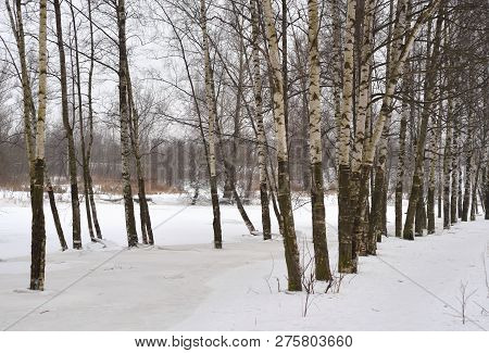 Birch Trees At Winter On Coast Of River, Russia.