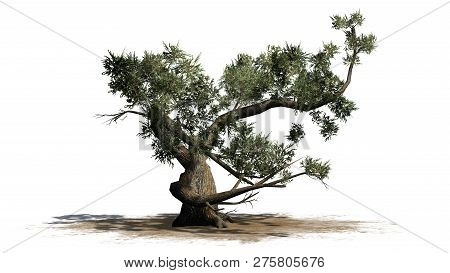 Jeffrey Pine Tree Con A Sand Area - Isolated On White Background - 3d Illustration