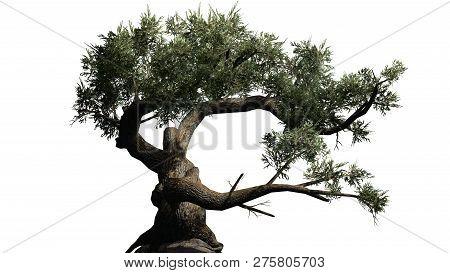 Jeffrey Pine Tree - Isolated On White Background - 3d Illustration