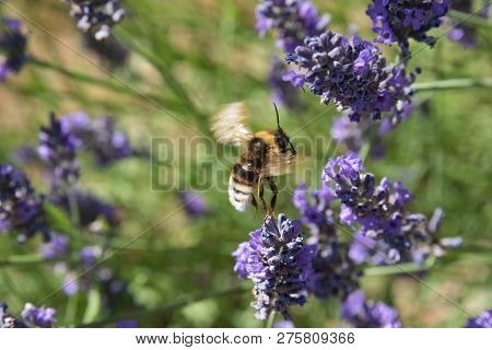 Bee Flying Away From A Lavender Flower