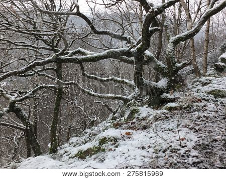 Falling Snow Covering Twisted Trees And Branches In A Hillside Forest With Rocky Ground
