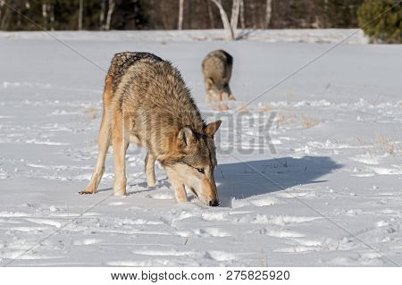 Grey Wolves (canis Lupus) Sniff In Field Winter - Captive Animals