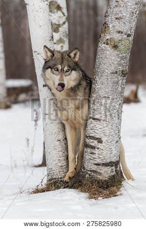 Grey Wolf (canis Lupus) Sheepish Look Nose Lick Winter - Captive Animal