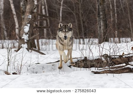Grey Wolf (canis Lupus) Leaps Over Snowy Log Winter - Captive Animal