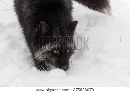 Silver Fox (vulpes Vulpes) Close Up With Tail Tip Winter - Captive Animal