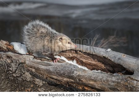 Opossum (didelphimorphia) Stands Facing Right Atop Log Winter - Captive Animal