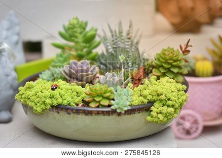 Miniature Succulent Plant Beautiful / Mix Of Collection Set Succulent Plants In Pot Echeveria Sedum