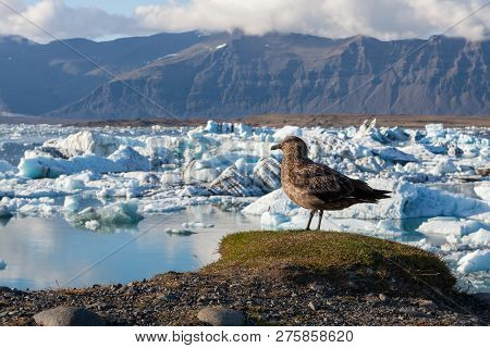 Big Bird Standing On A Hill Above Icebergs In Jokulsarlon Glacier Lagoon. Global Warming And Climate