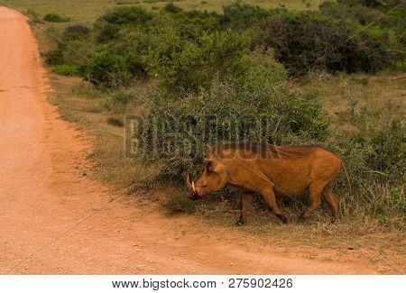 Common Warthog Browsing Around On The Savannah In Addo Elephant Park, South Africa