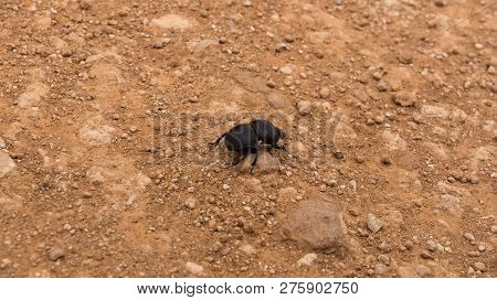 Flightless Dung Beetle Searching For Elephant Droppings To Bring Home, Addo Elephant Park, South Afr
