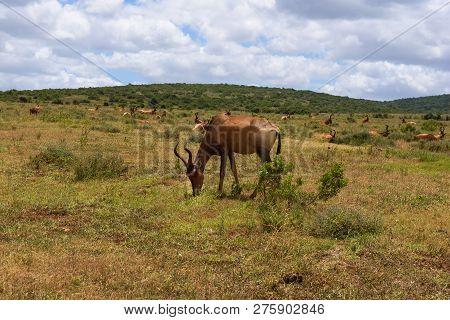 Red Hartebeest Grazing Around On The Savanna In Addo Elephant Park, South Africa