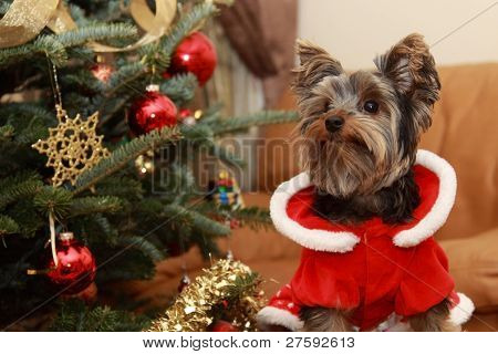 Christmas Tree And Yorkie Puppy