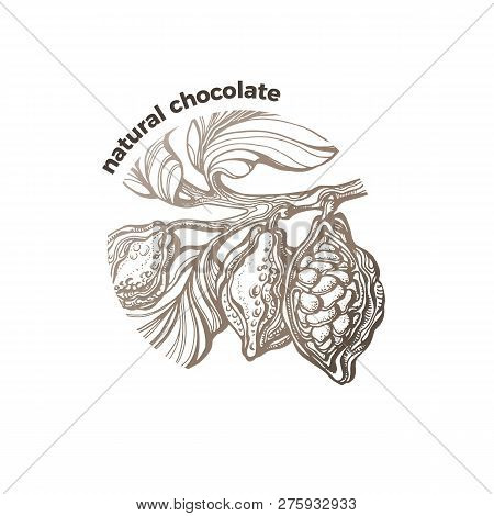 Vector Graphic Symbol Tropical Cacao Tree, Branch, Leaf, Chocolate Bean, Fruit Natural Sweet Food Bi