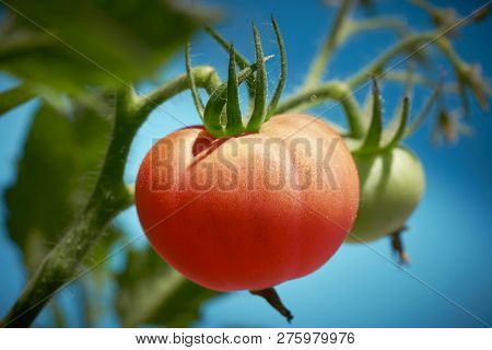 Red tomato in tomatoes orchard field homestead farm