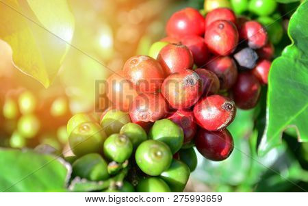 Coffee On Tree Arabicas Raw And Ripe Coffee Bean In Field And Sunlight Green And Red Coffee Seed Bra