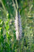 Blooming Medicinal Plantain plant on a natural background in a meadow. Plantago media poster