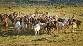 Herd of Jersey cows in the Natal Midlands, Africa poster