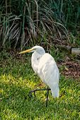 Heron or great egret walking on green grass in Key West, USA. Bird with white feathers and yellow beak on natural background. Wildlife and nature. Ornithology and freedom concept poster