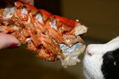 cat eating lobster fed by hand poster