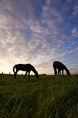 two horses grazing on a meadow, silhouetted against powerful evening sky poster