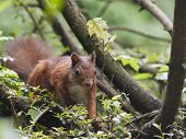 red squirrel in the bush poster