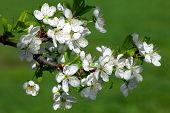 Apple blossom branch in spring. Close up. poster