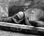 Chimp lays on his back on a wooden platform. Black and white photo. Red eyes are the only color in shot. poster