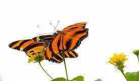 Banded Orange Butterfly (dryadula Phaetusa) Aka The Banded Orange Heliconian, Banded Orange, Or Oran