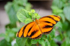 Tiger Longwing (heliconius Hecale), Or Hecale Longwing, Golden Longwing Or Golden Heliconian.  A Hel