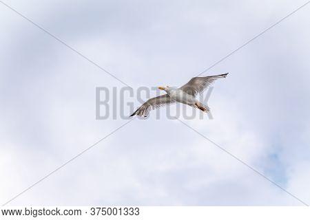 Sea Gull In The Clear Blue Sky. The European Herring Gull Flying In Blue Clear Sky Background,