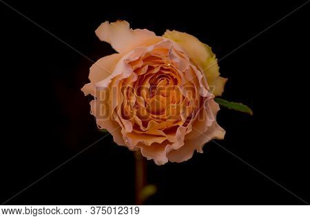 Close Up Of A Bouquet Of Campanella Garden Roses Variety, Studio Shot, Peach Flowers