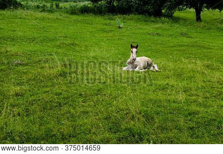 Foal Lying On Grass. Foal Gives Back On The Grass.