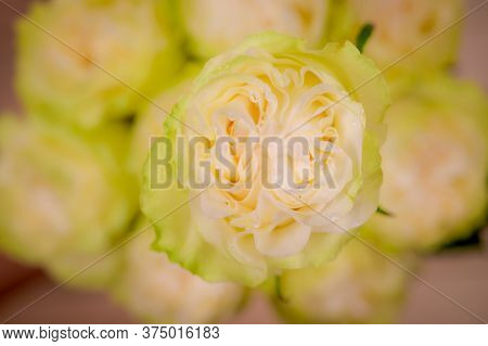 Close Up Of A Bouquet Of Moonstone Garden Roses Variety, Studio Shot, White Flowers