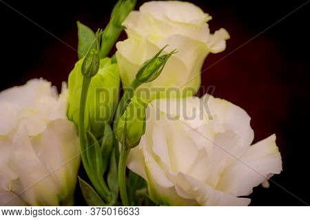 Close Up Of A Bouquet Of White Lisanthus Summer Flower Variety, Studio Shot, White Flowers