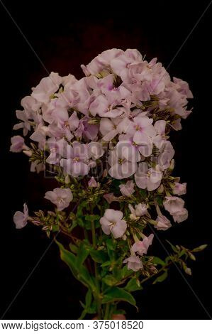 Close Up Of A Bouquet Of Phlox Miss Marple Summer Flowers Variety, Studio Shot, Pink Flowers