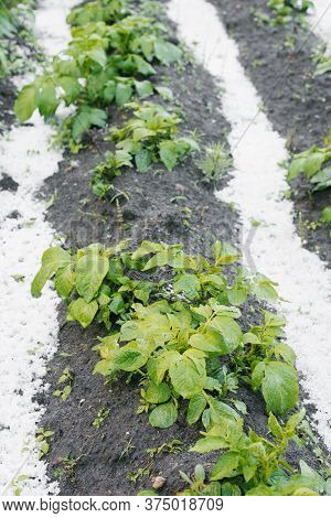 Potato Bushes Grow In The Garden, Covered With A Layer Of Fallen Hail In Bad Weather In Summer
