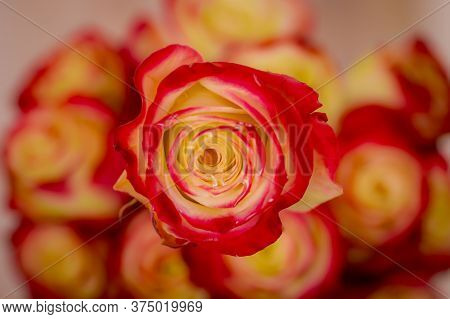 Close Up Of A Bouquet Of Her Majestic Roses Variety, Studio Shot, Dual Tone Flowers