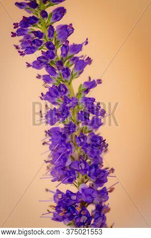 Close Up Of A Blue Veronica Summer Flowers Variety, Studio Shot, Purple Flowers