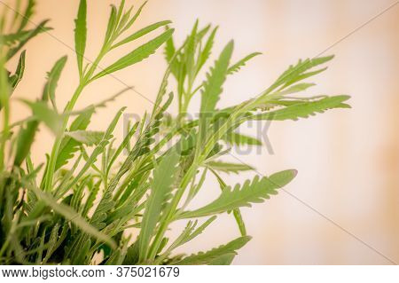 Close Up Of A Bouquet Of Lavender Foliage Variety, Studio Shot, Green Flowers