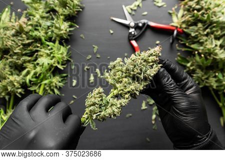 Harvest Weed Time Has Come. Growers Trim Their Pot Buds Before Drying. Mans Hands Trimming Marijuana