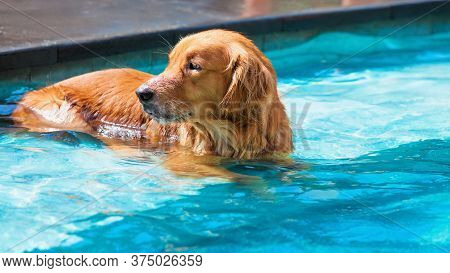 Funny Photo Of Lazy Little Golden Retriever Labrador Puppy Lying And Relaxing In Water At Swimming P
